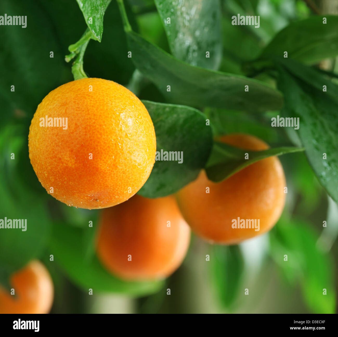 Tangerines on a citrus tree close up. Stock Photo