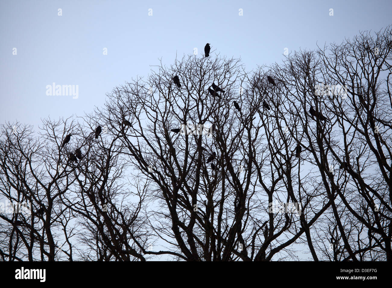 Crows in Tree Tops in winter - Stock Image