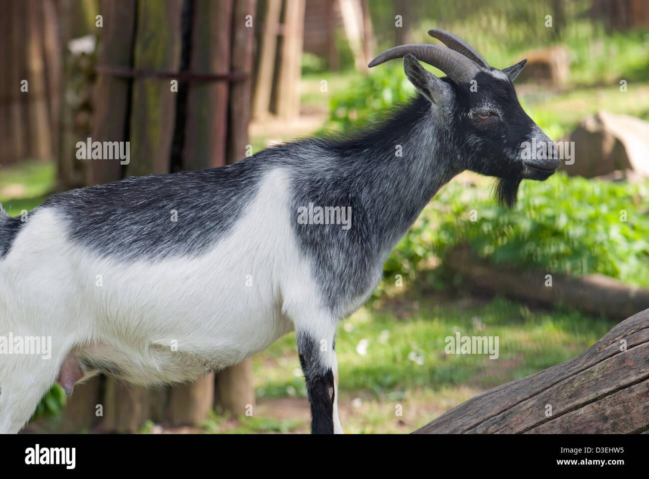 Pygmy goat home (Capra hircus) - Stock Image