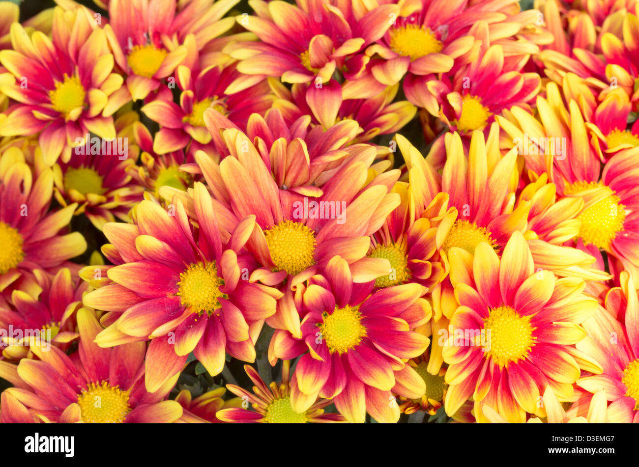 images of chrysanthemums.html
