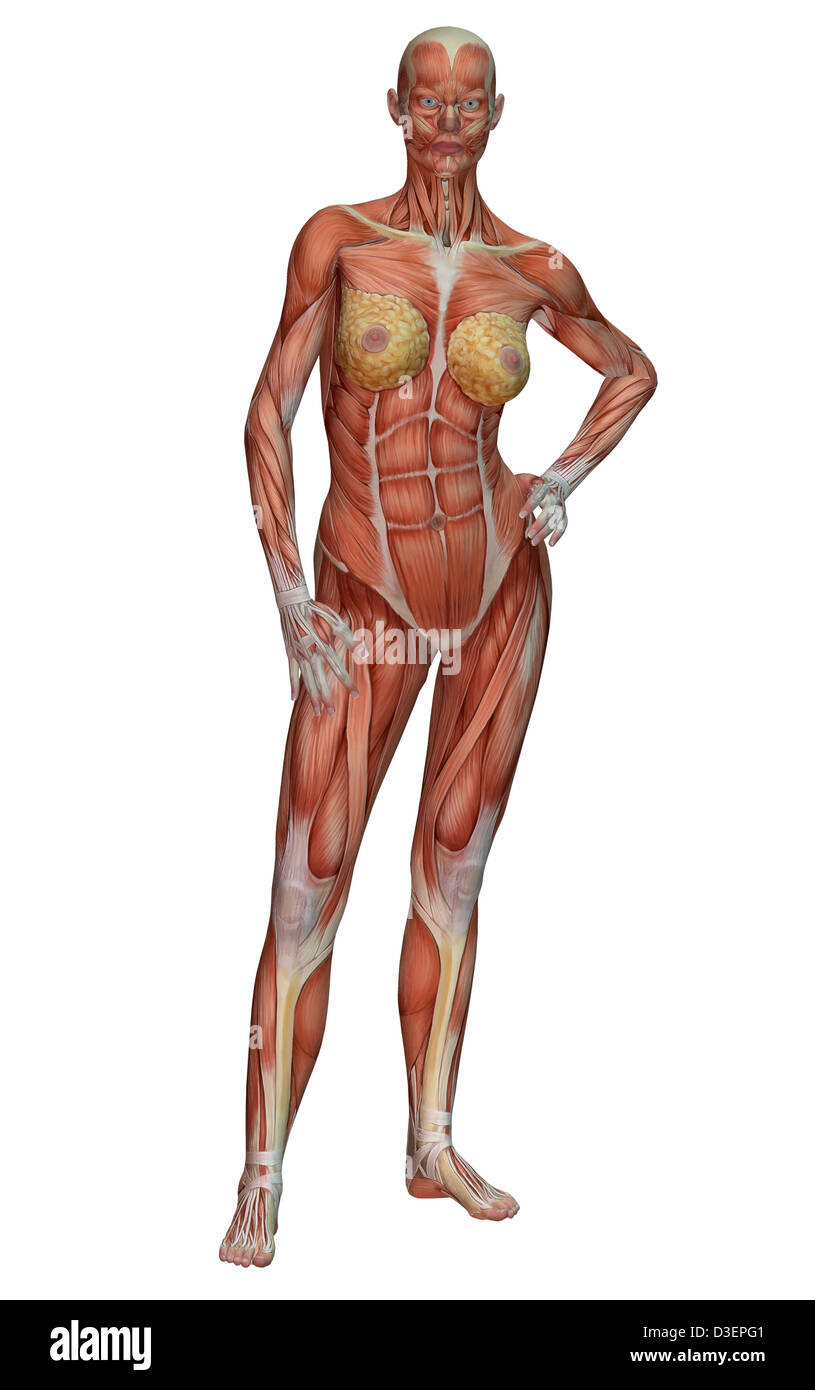 female muscle anatomy Stock Photo: 53800097 - Alamy