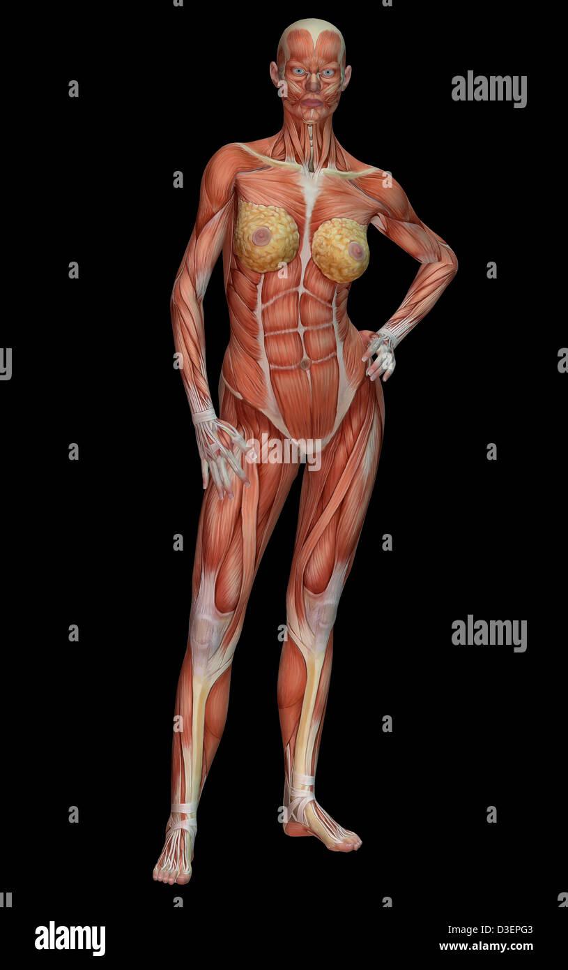 female muscle anatomy Stock Photo: 53800099 - Alamy