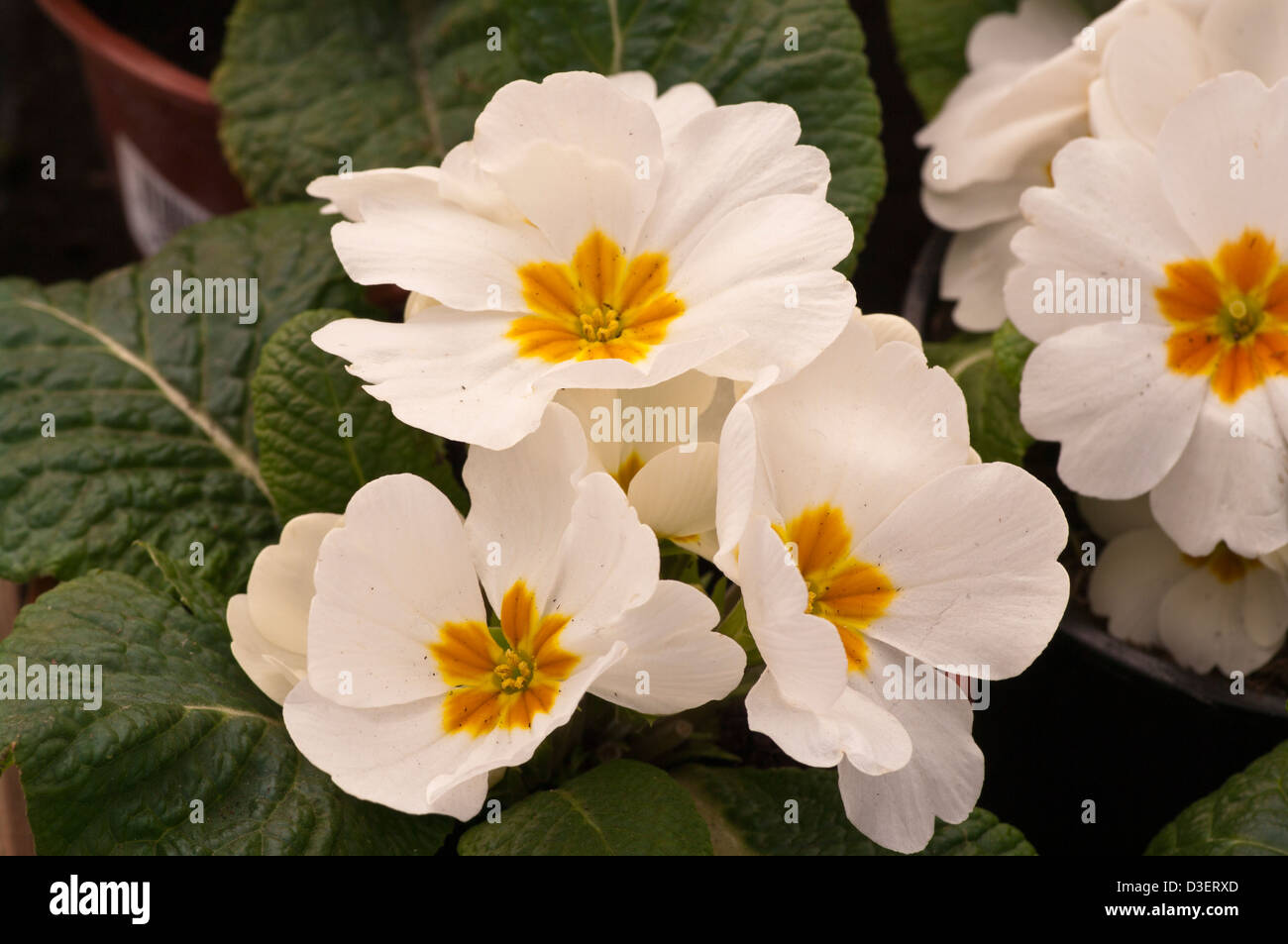 White Primroses Spring Flowers Uk Stock Photo 53801173 Alamy
