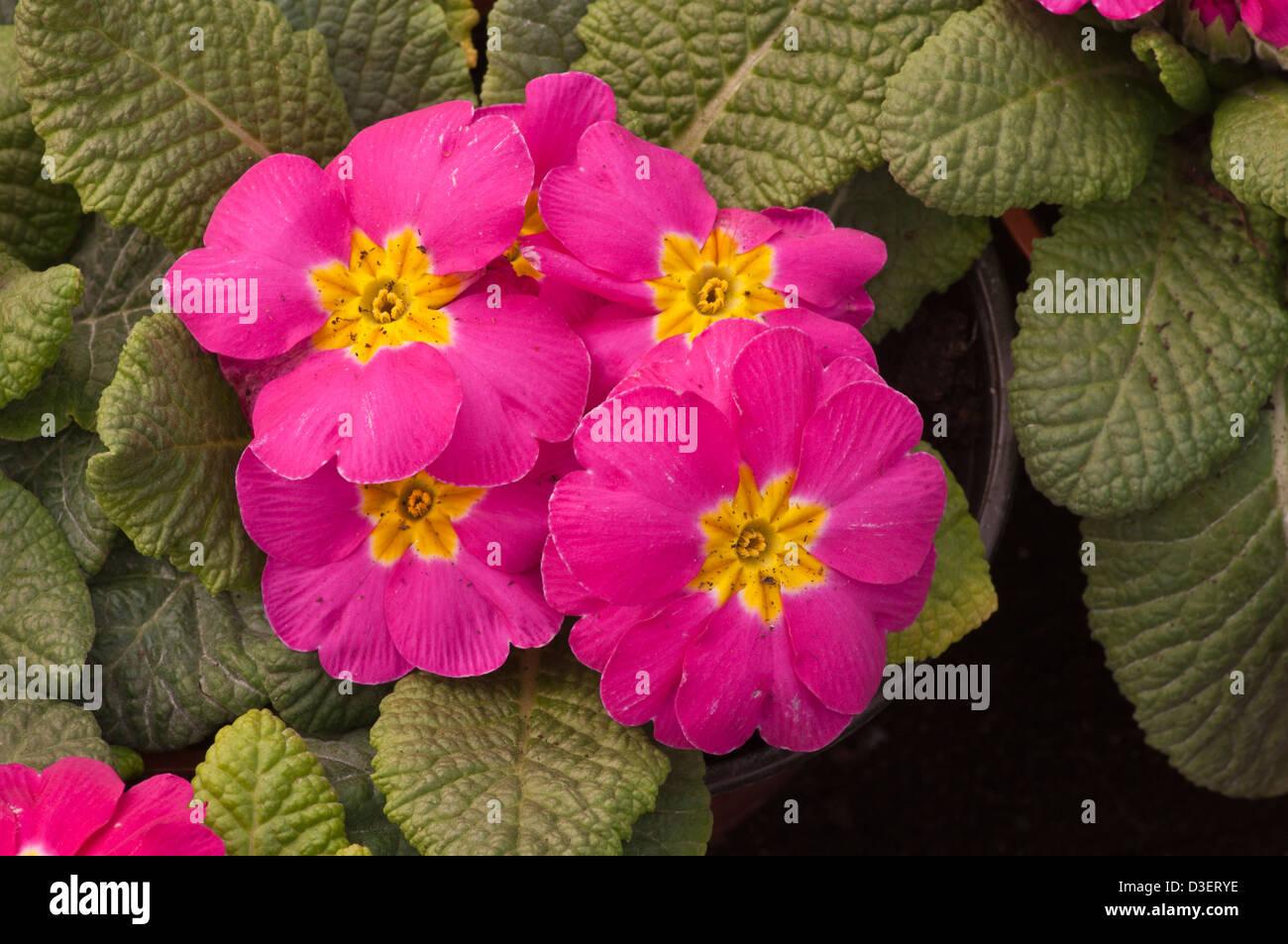 Primroses Pink Flowers Stock Photos Primroses Pink Flowers Stock