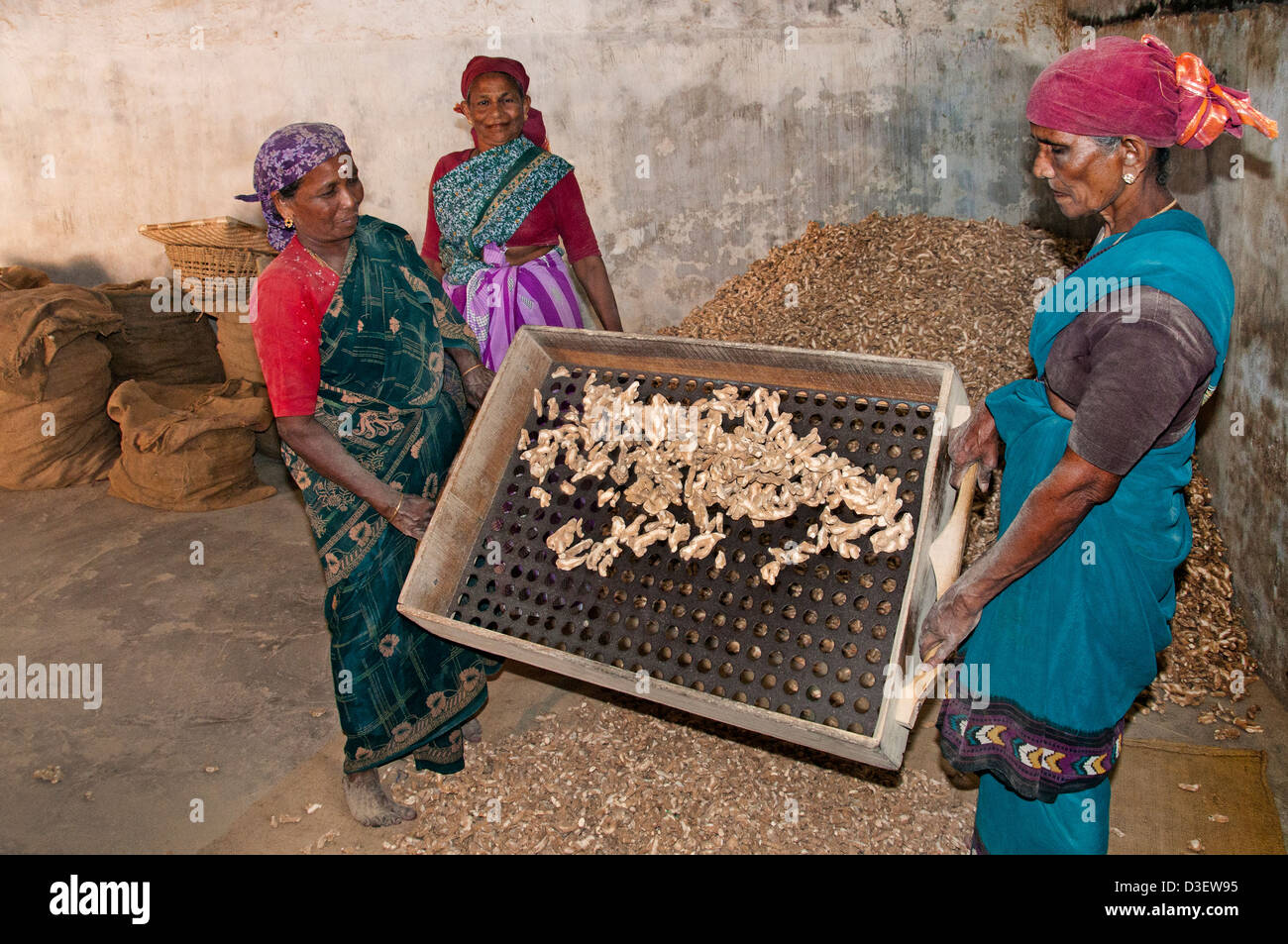 Woman Sieve Sieving Ginger Root Kochi Cochin Kerala India - Stock Image