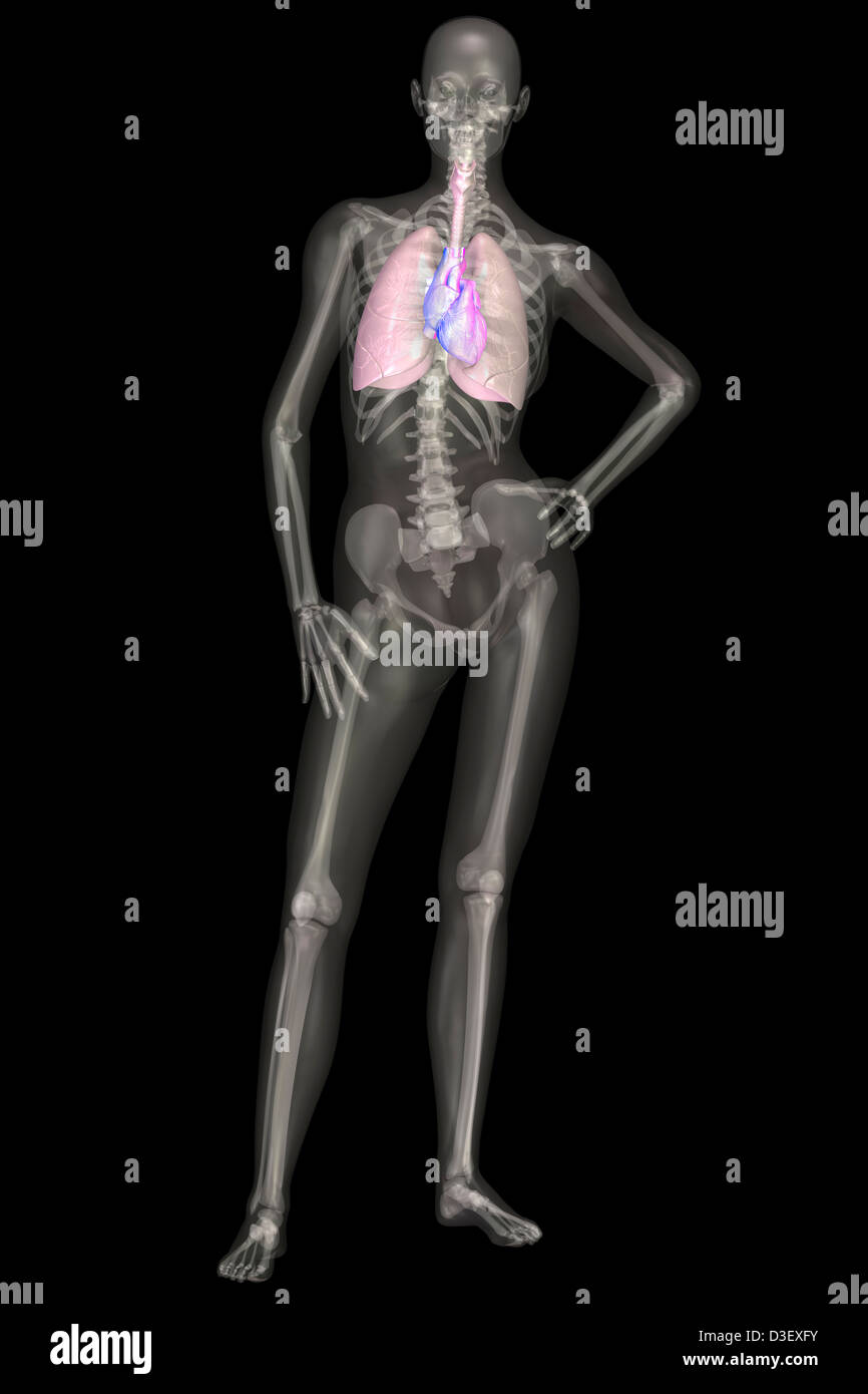 Illustration Of Human Skeleton And Organ Systems Stock Photo
