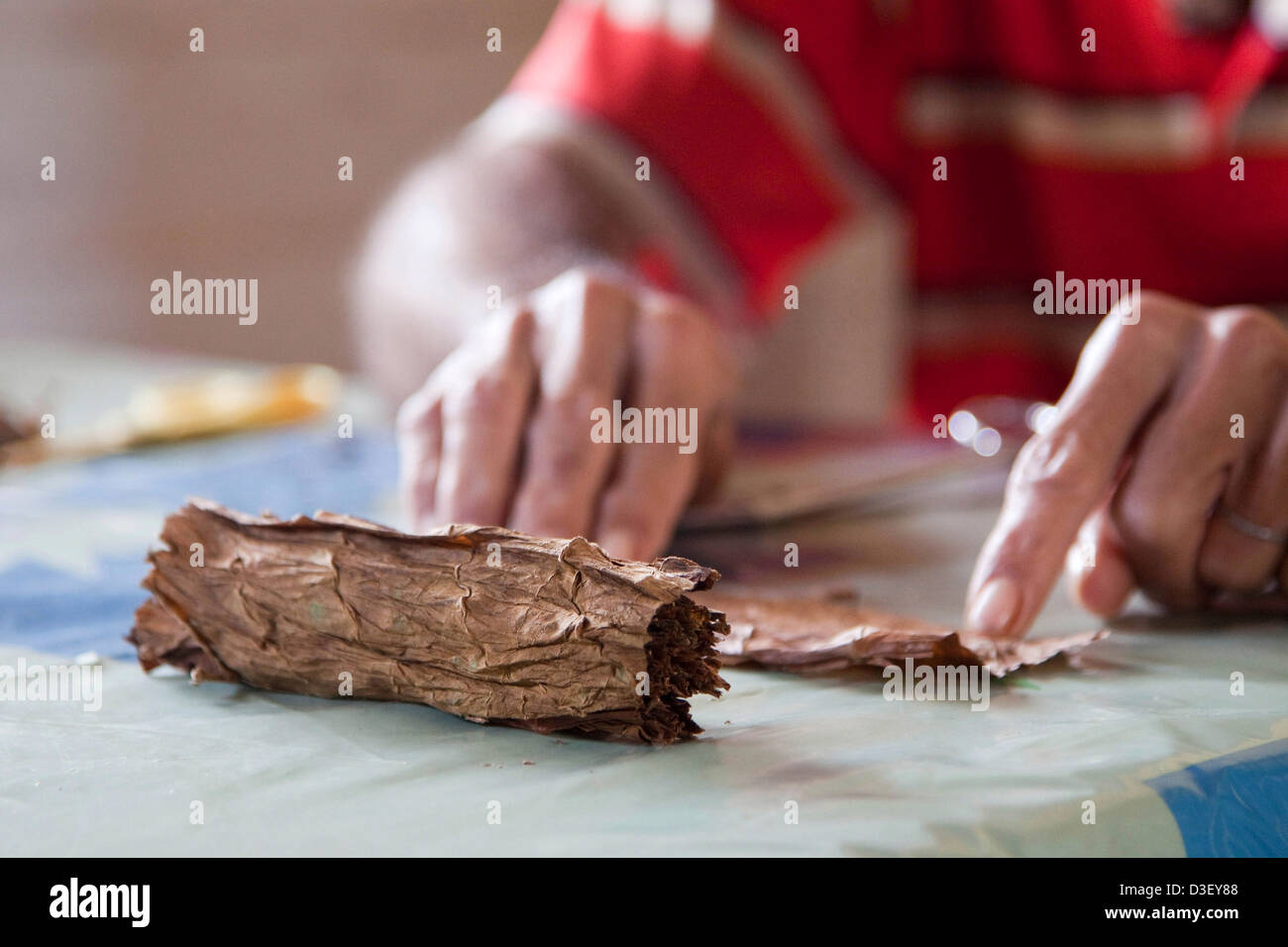 Cigar maker making a hand rolled cuban cigar from a bundle of dried tobacco leaves, Viñales, Cuba, Caribbean - Stock Image