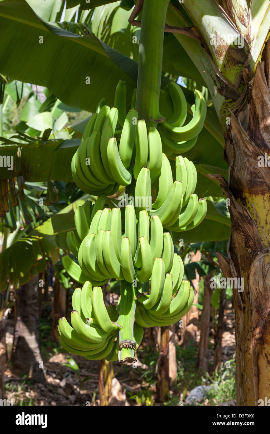 Fresh bananas growing on a tree, St Lucia - Stock Image