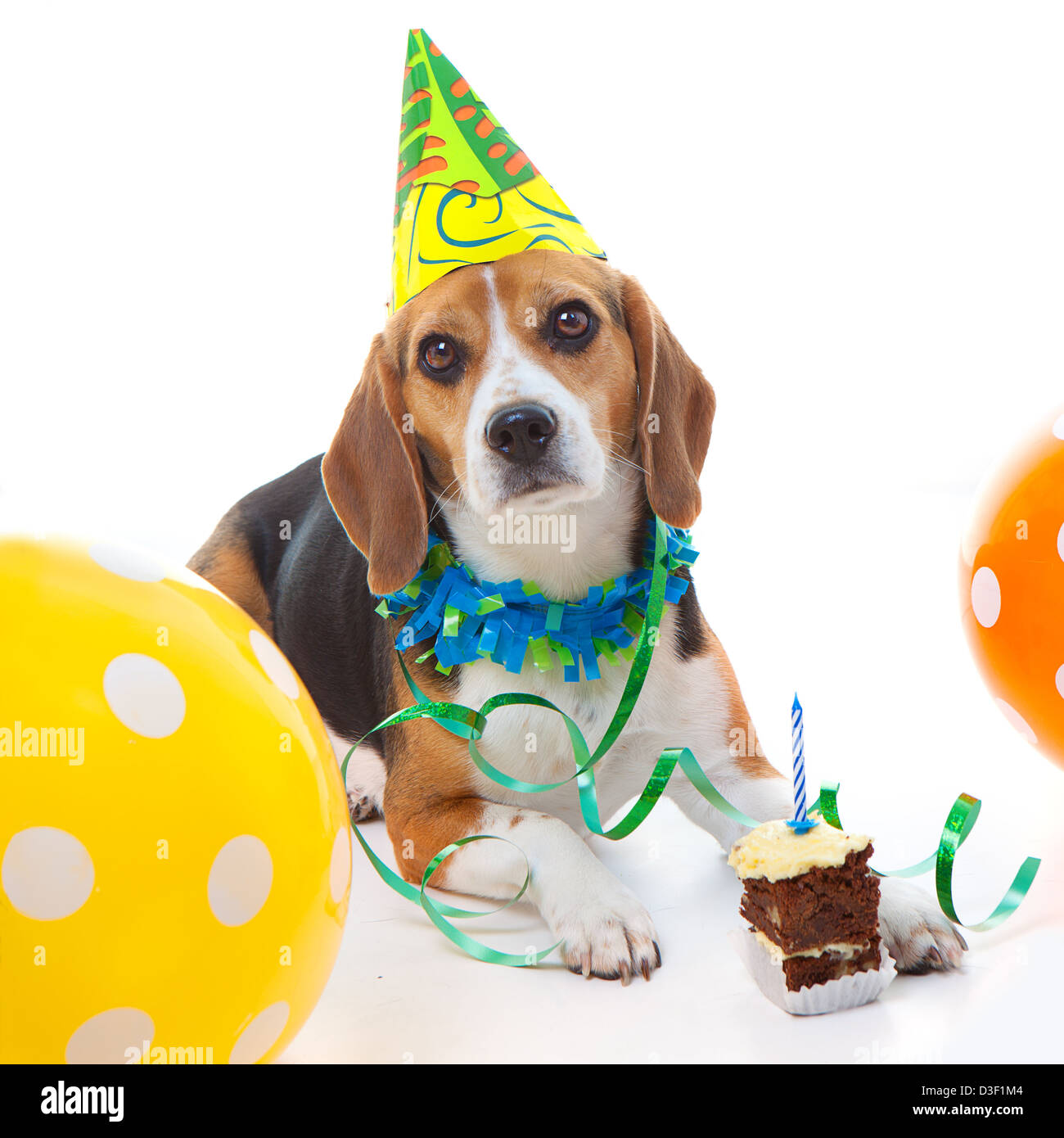 Pet Beagle Dog First Birthday Party Celebration With Cake Hat And Balloons