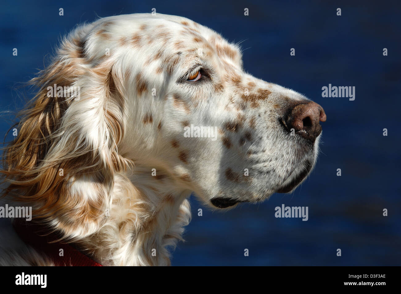 English setter dog profile - Stock Image