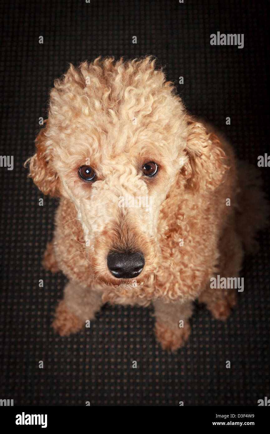 Staring poodle begging for sweets with long curly hair and big eyes - Stock Image