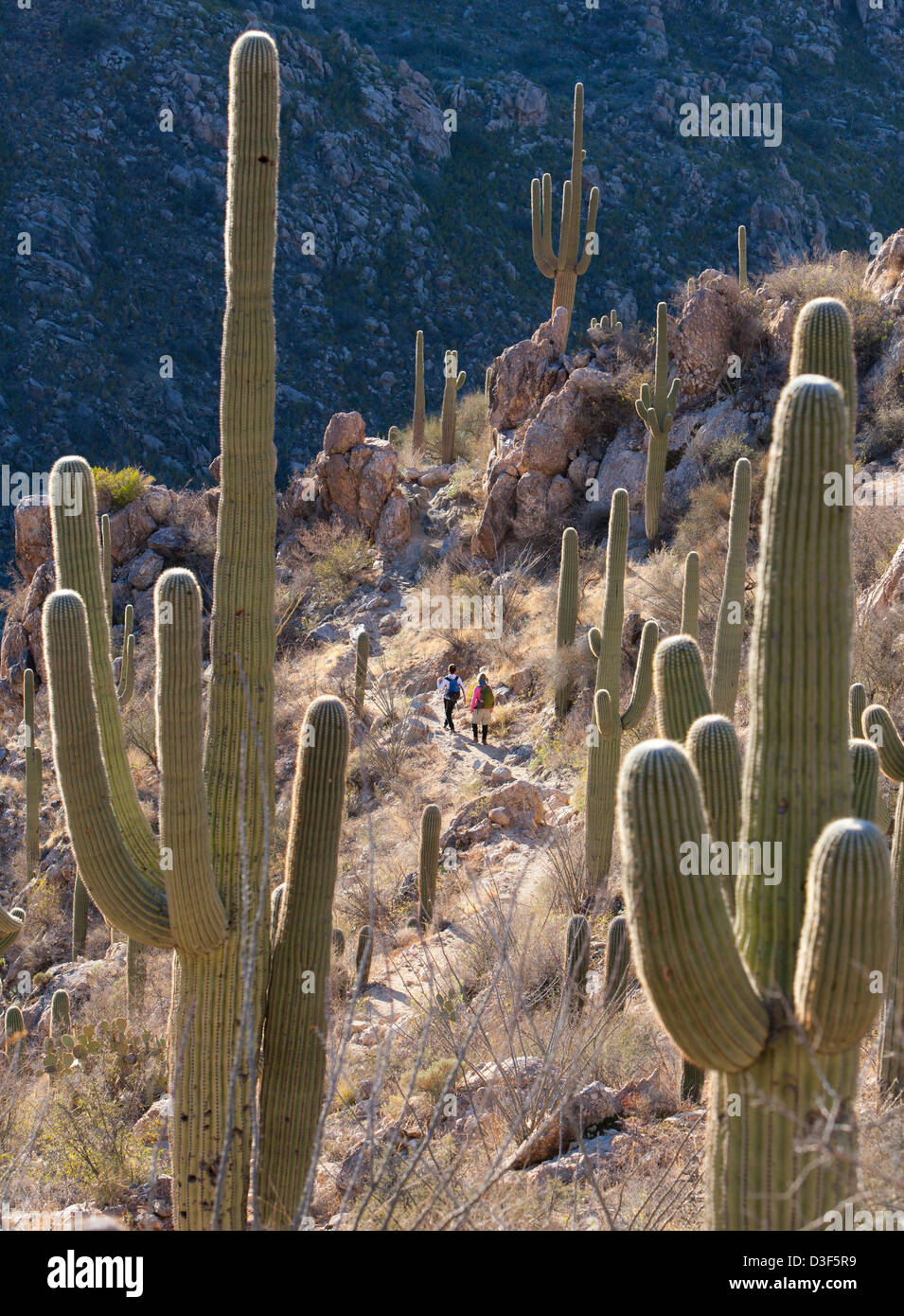 Hikers on a trail in Catalina State Park - Stock Image