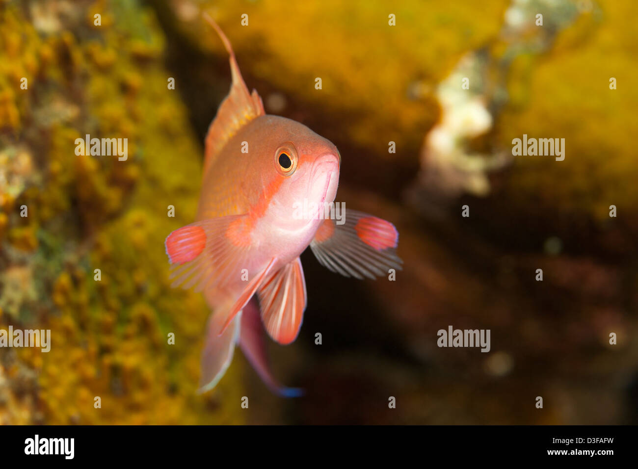 Scalefin Anthias (Pseudanthias squamipinnis), male on a tropical coral reef in Bali, Indonesia. - Stock Image