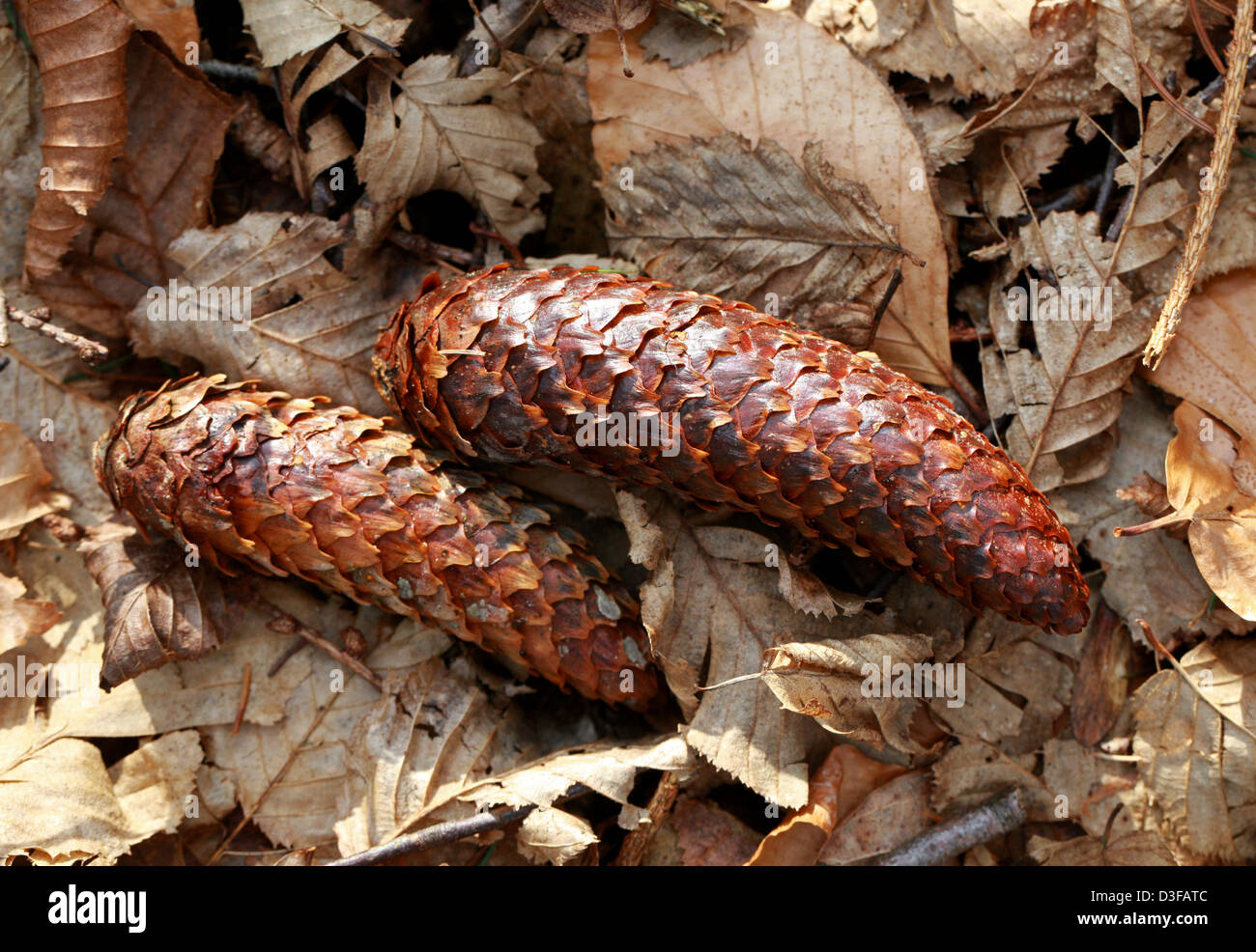 Norway Spruce Cones, Picea abies, Pinaceae. - Stock Image