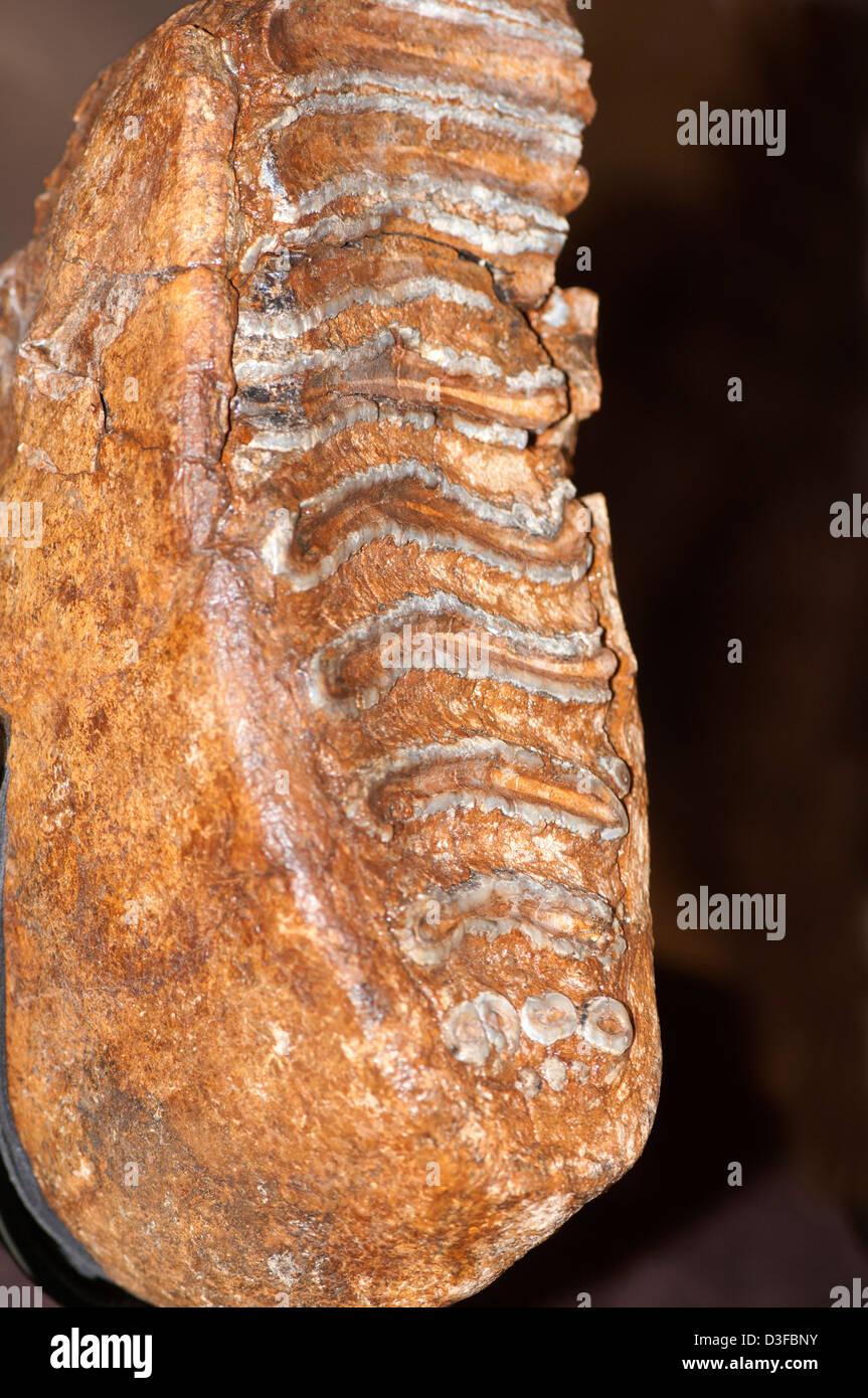 Mammoth, Mammuthus columbi, molar tooth - Stock Image