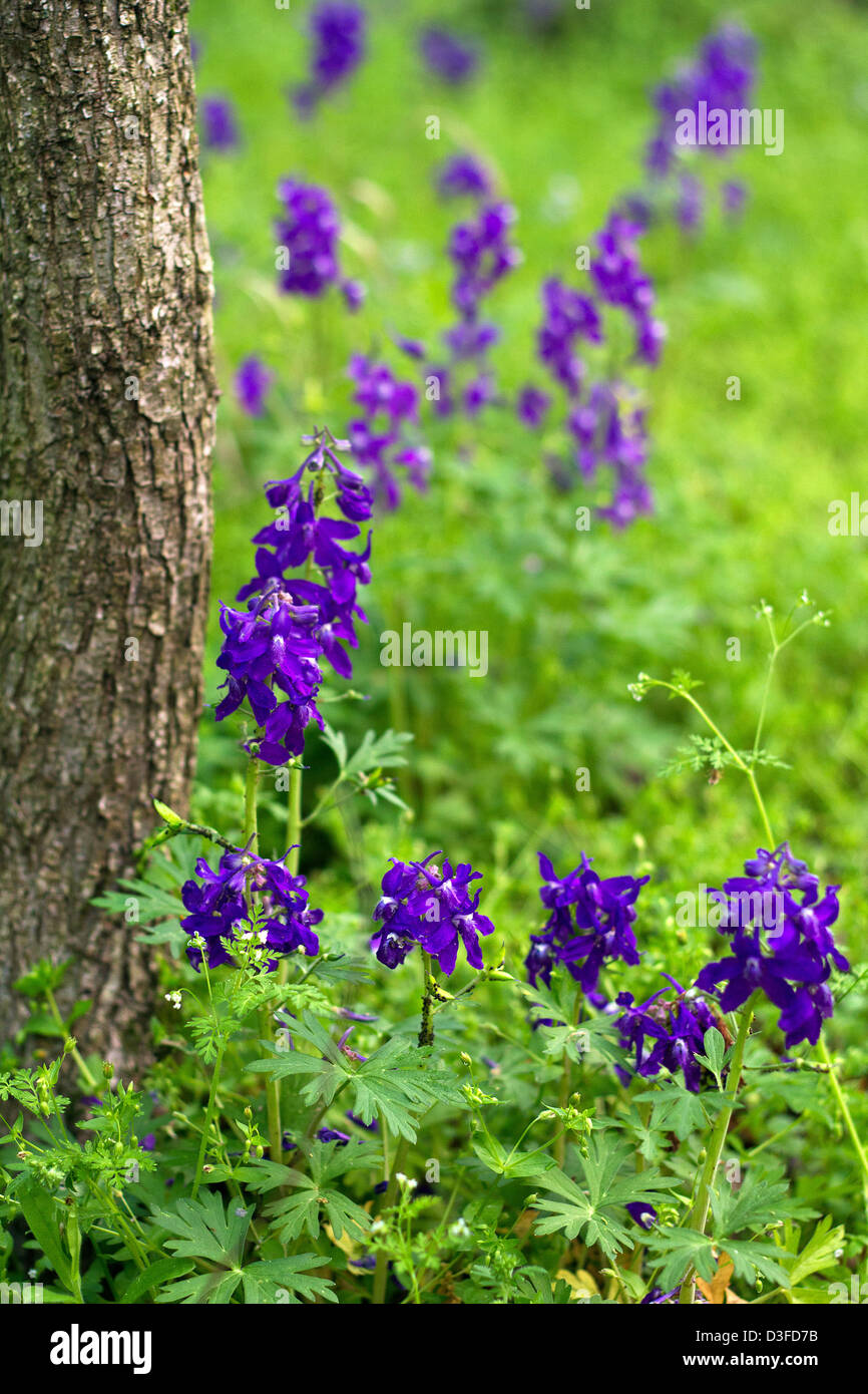 Beautiful purple dwarf larkspur blooms at the base of a tree - Stock Image