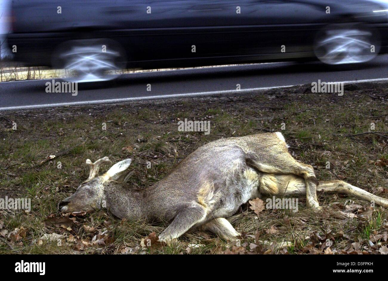 (dpa) - A deer lying at the roadside was run over by a car near Gross Kreutz, Germany, 11 March 2003. A car driver, - Stock Image