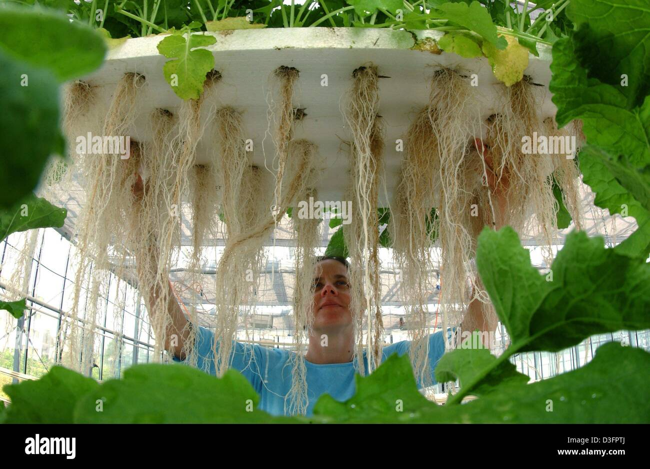 (dpa) - Monika Schreiner from the institute for vegetable and ornamental plants examines the roots of the 'Teltower - Stock Image