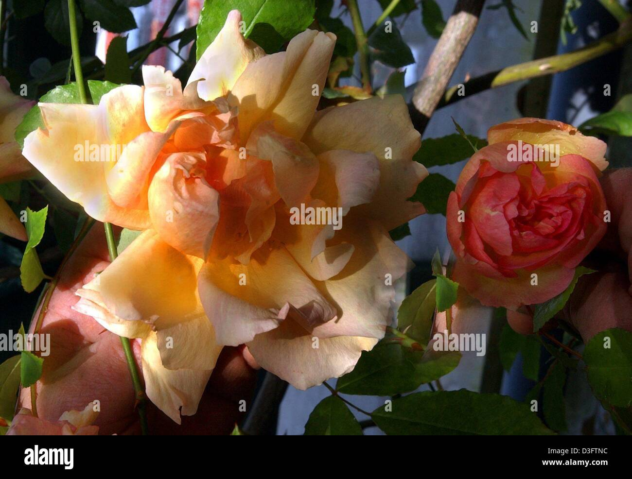 dpa) - \'Fortune double yellow\' is the name of this rare rose Stock ...