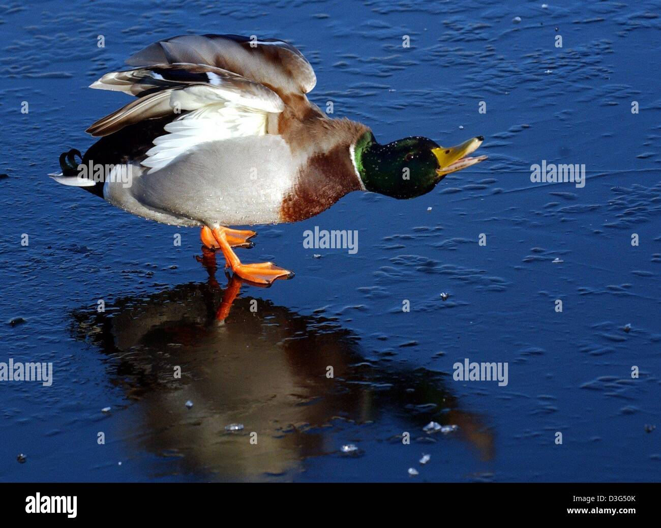 (dpa) - A loudly quacking drake skids over the thin layer of ice on the River Havel near Potsdam, Germany, 9 December - Stock Image