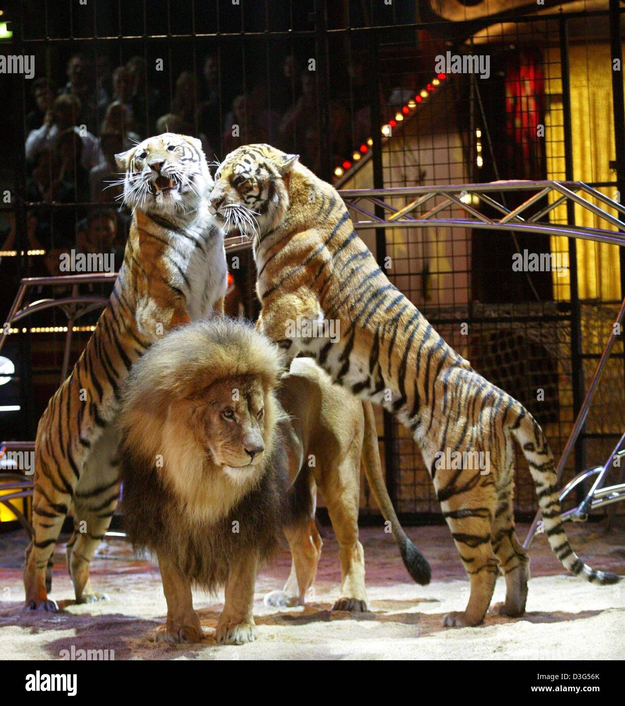 (dpa) - Two tigers lean on the back of a lion during the predator show of the British lion tamer Alex Lacey during - Stock Image