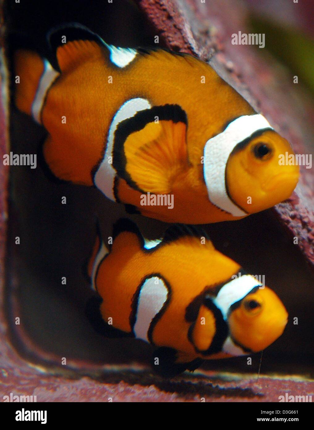 (dpa) - Two clownfish swim in an aquarium at the zoo in Frankfurt Main, Germany, 18 November 2003. According to - Stock Image
