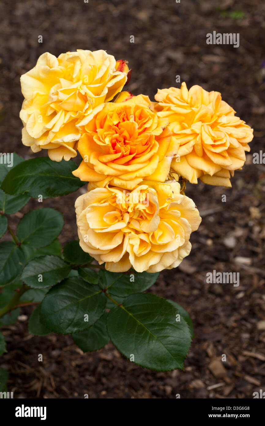 Bed-Rose 'Timeless', Rosa, Rosaceae - Stock Image