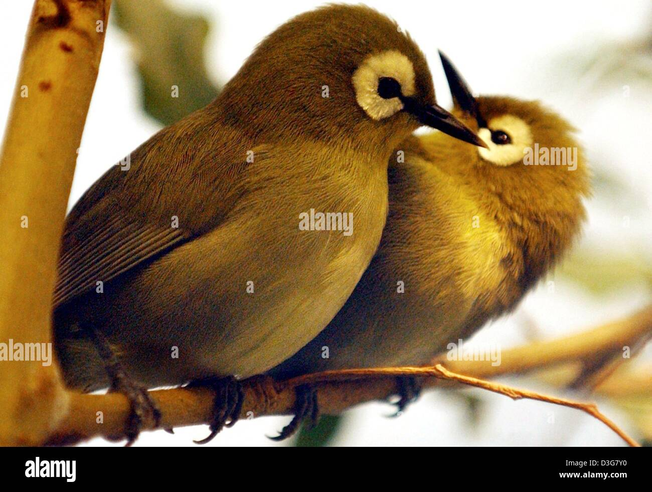 (dpa) - Two Kikuyu white eyes are cleaning each other's plumage, in the zoo in Frankfurt, Germany, 24 October - Stock Image