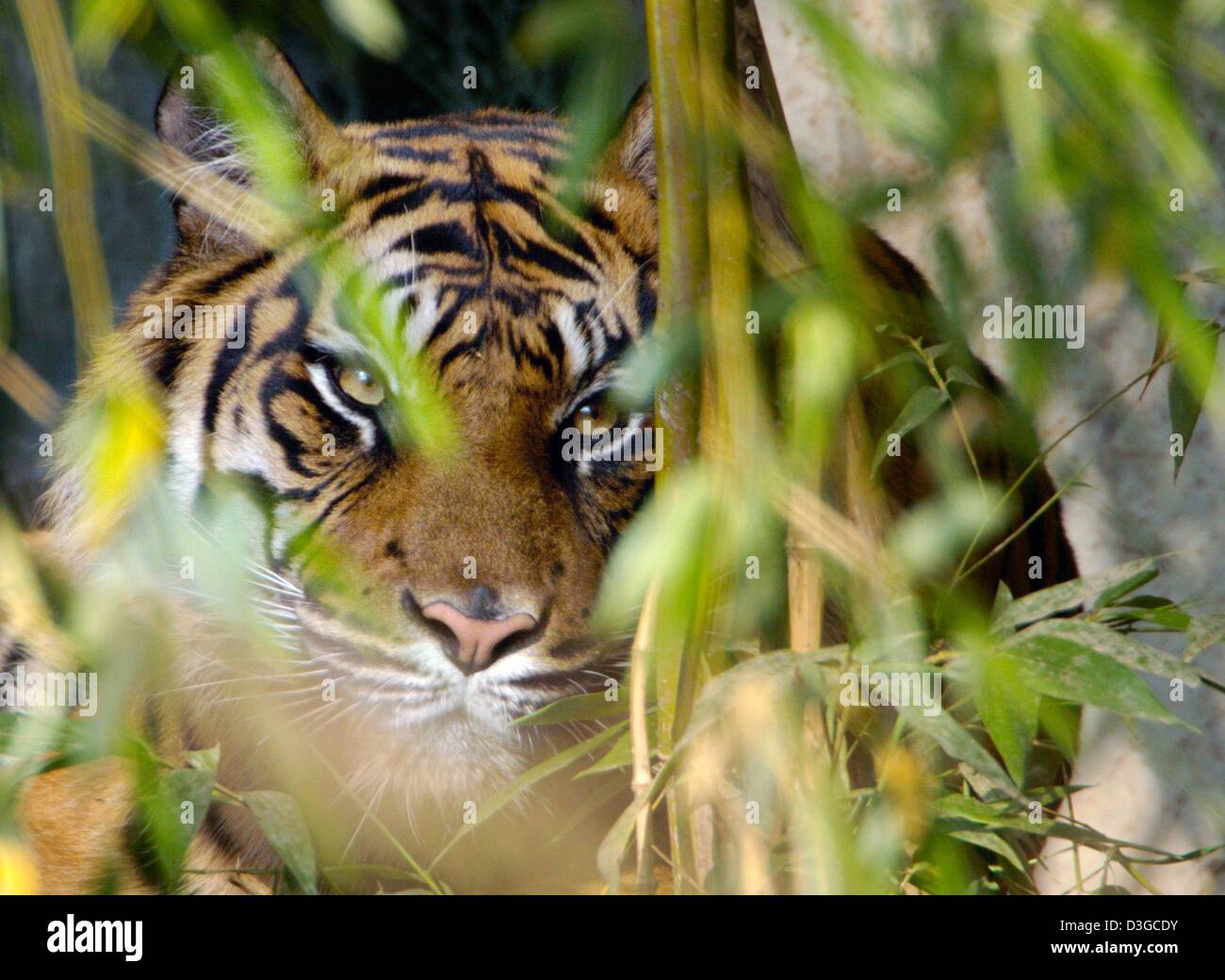 (dpa) - A tiger hides in the underbrushs in its enclosure in the zoo in Frankfurt, Germany, 13 October 2004. In - Stock Image