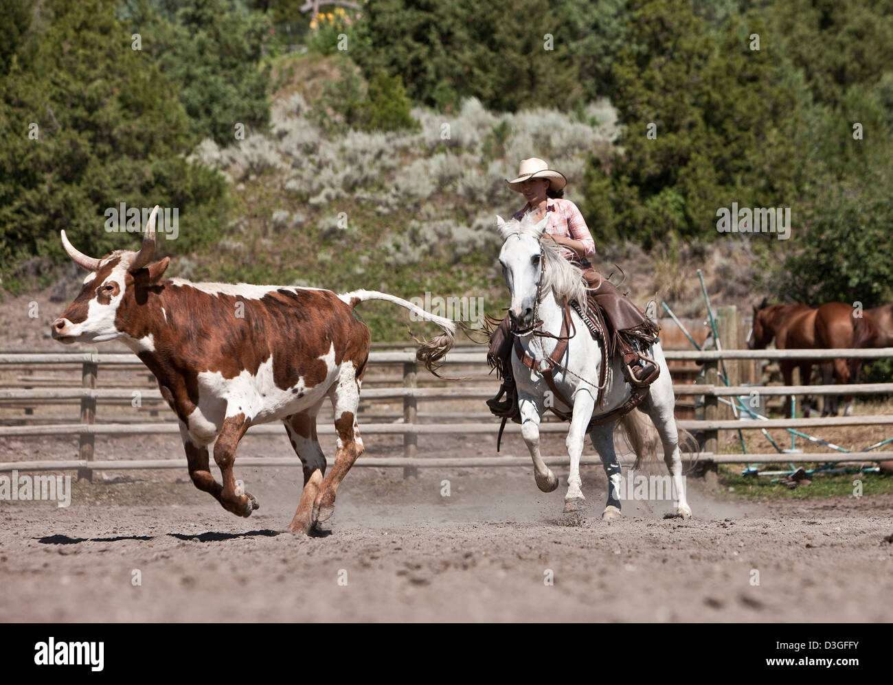 Cowgirl wrangler moving cattle in corral, ranching, Montana USA Stock Photo