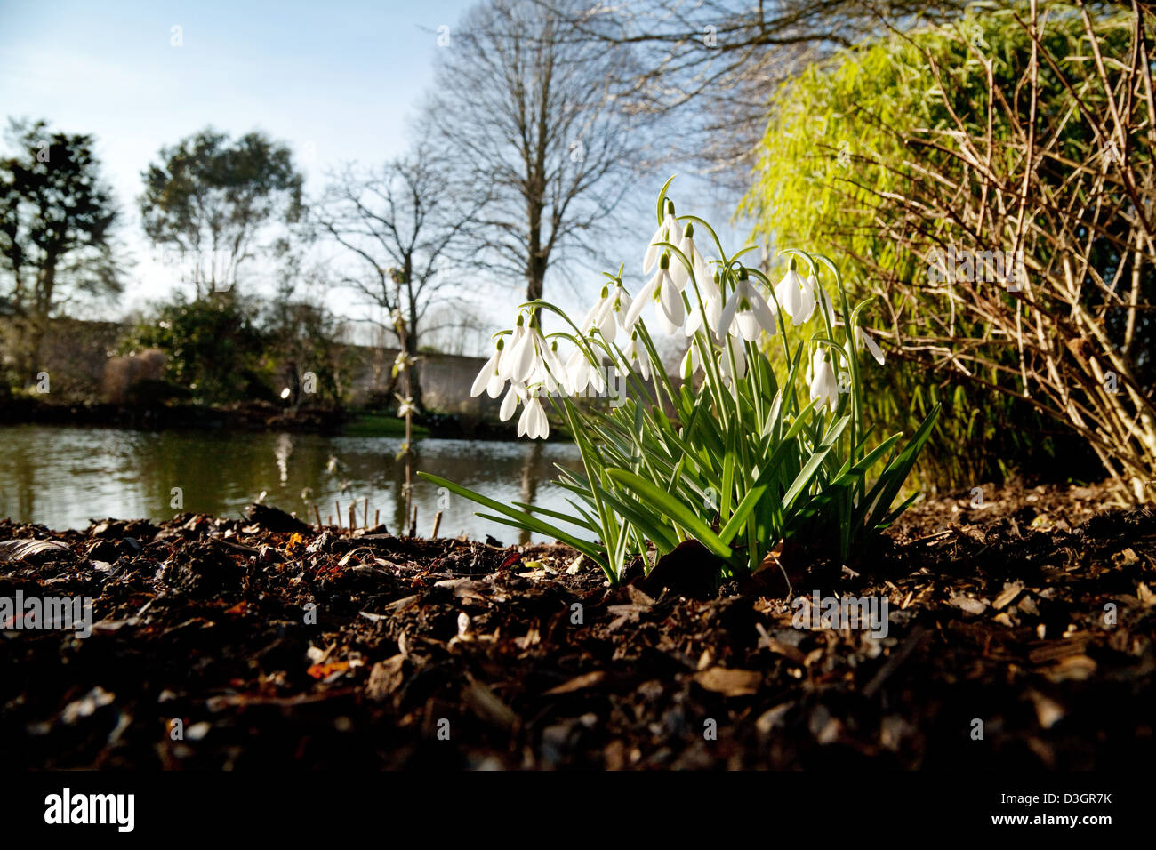 Snowdrops in flower - flowering by water in Spring, February, UK, Chippenham Park House, Cambridgeshire - Stock Image