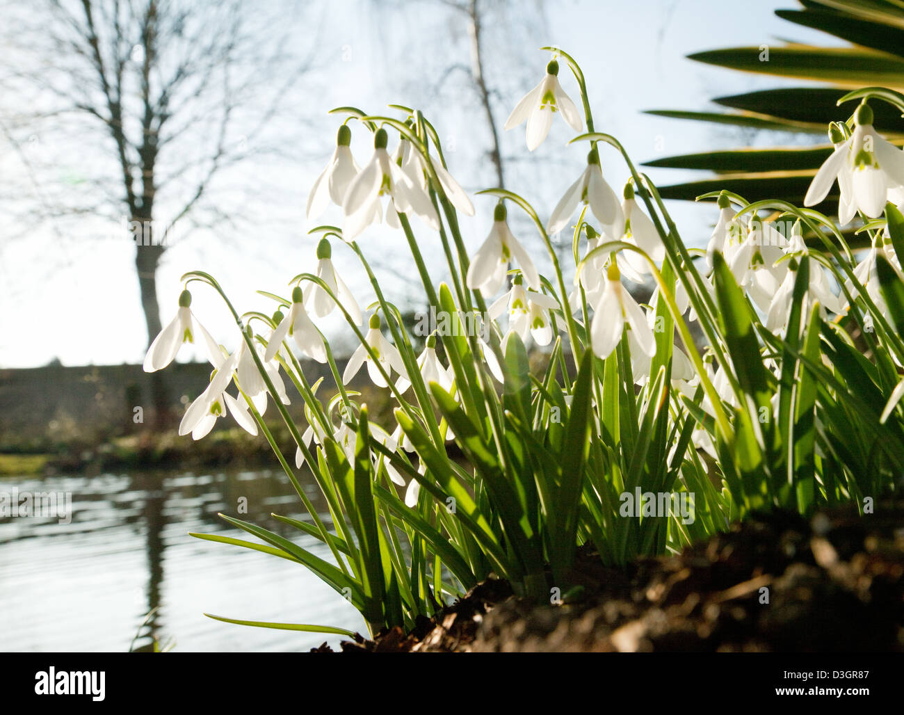 Snowdrops - snowdrop flowers flowering by water in February, spring UK - Stock Image