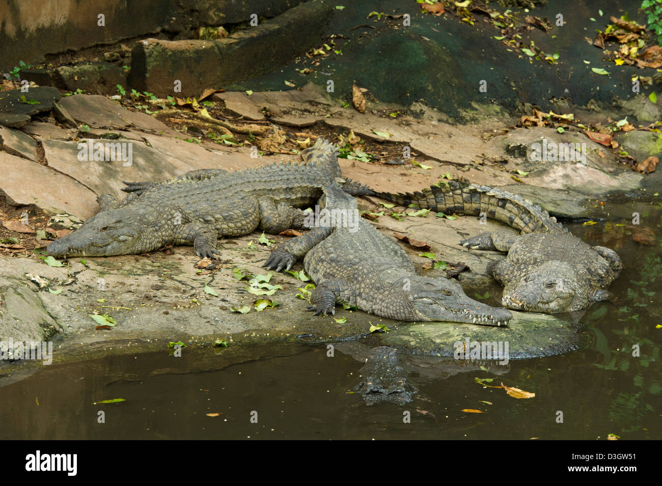 Nile crocodiles, Mamba Village crocodile farm, Mombasa, Kenya - Stock Image