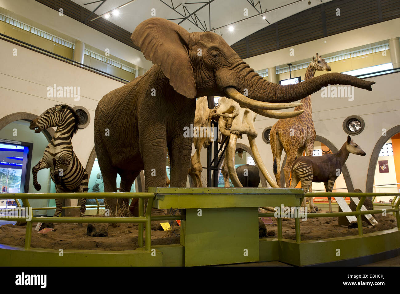 The Great Hall of mammals, Nairobi National Museum, Nairobi, Kenya Stock Photo