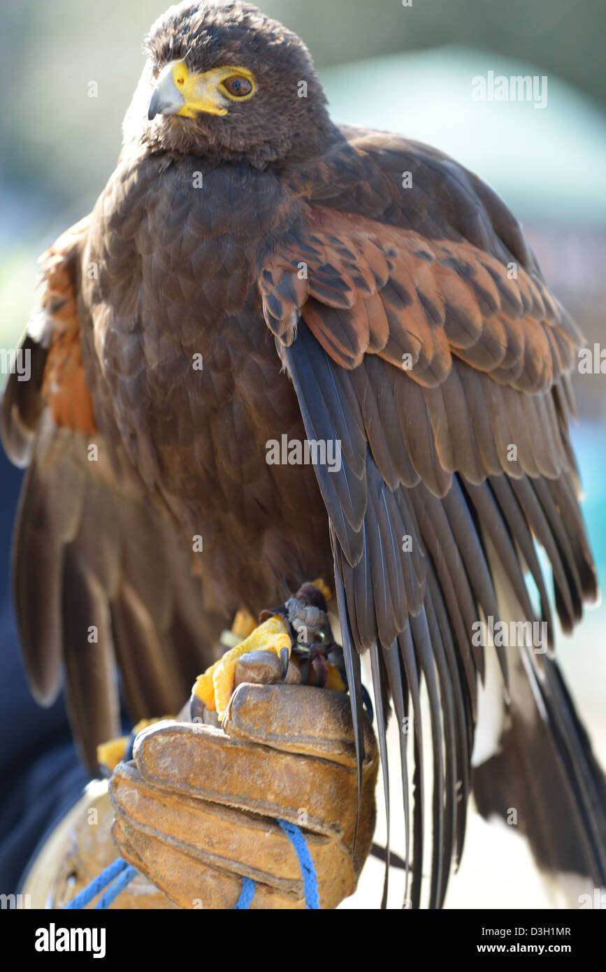 Harris Hawk held by gloved hand of trainer - Stock Image