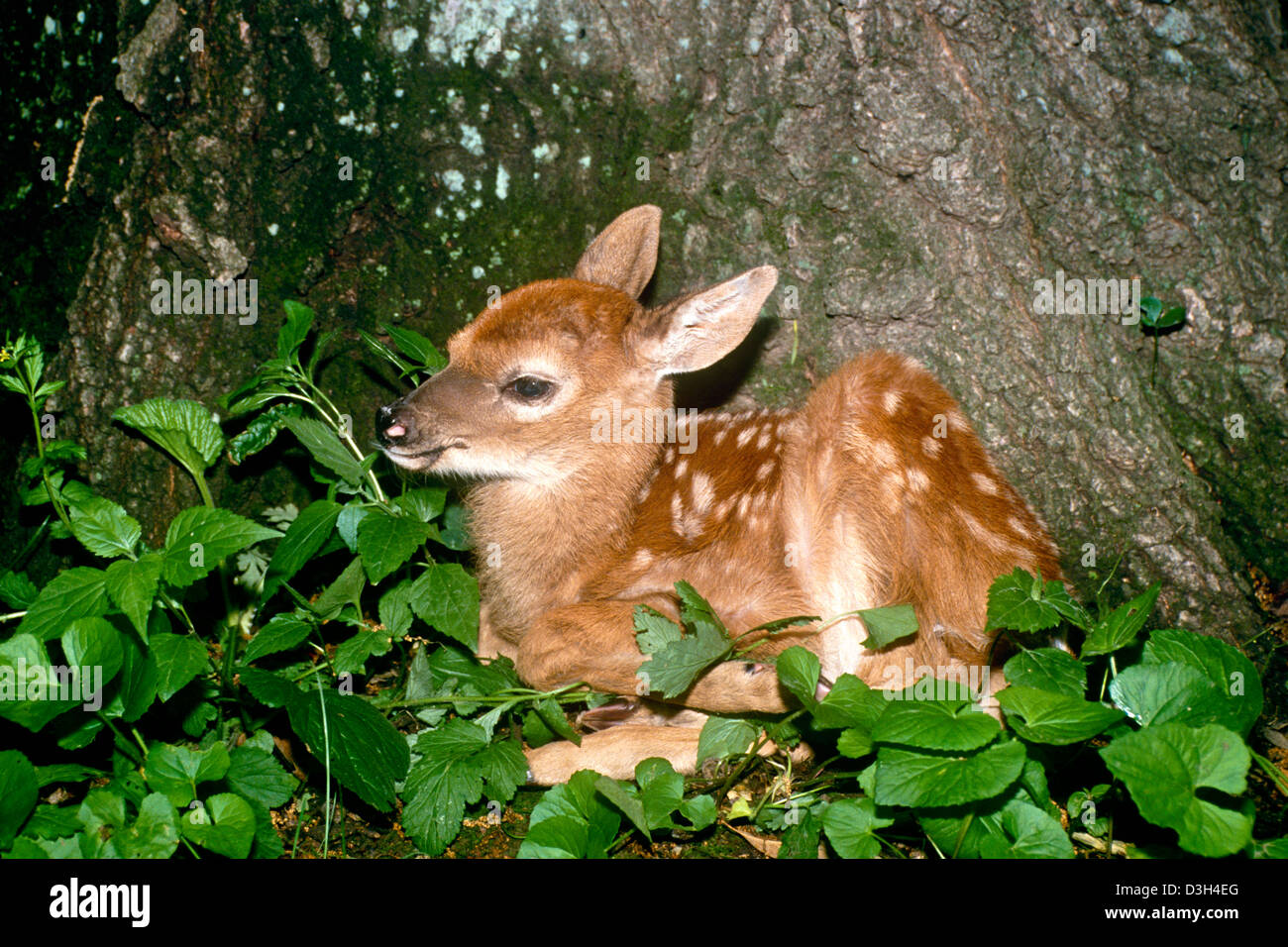 White tailed deer fawn (Odocoileus virginianus) sitting at base of tree in forest, Missouri, USA - Stock Image