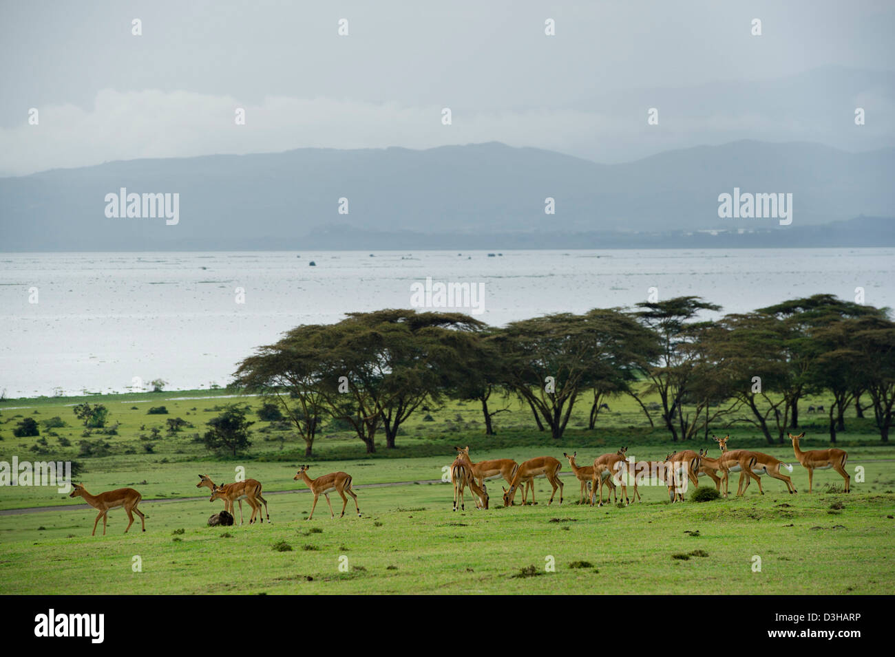Impala (Aepyceros melampus), Crescent Island Game Sanctuary on Lake Naivasha, Kenya - Stock Image