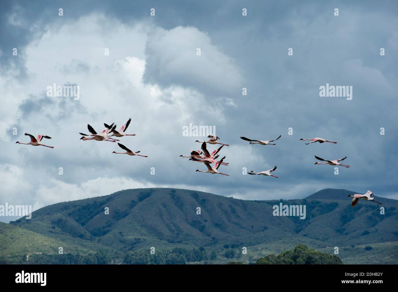 Lesser Flamingos (Phoenicopterus minor)   in flight over Lake Oliedon, called the little lake, off Lake Naivasha, - Stock Image