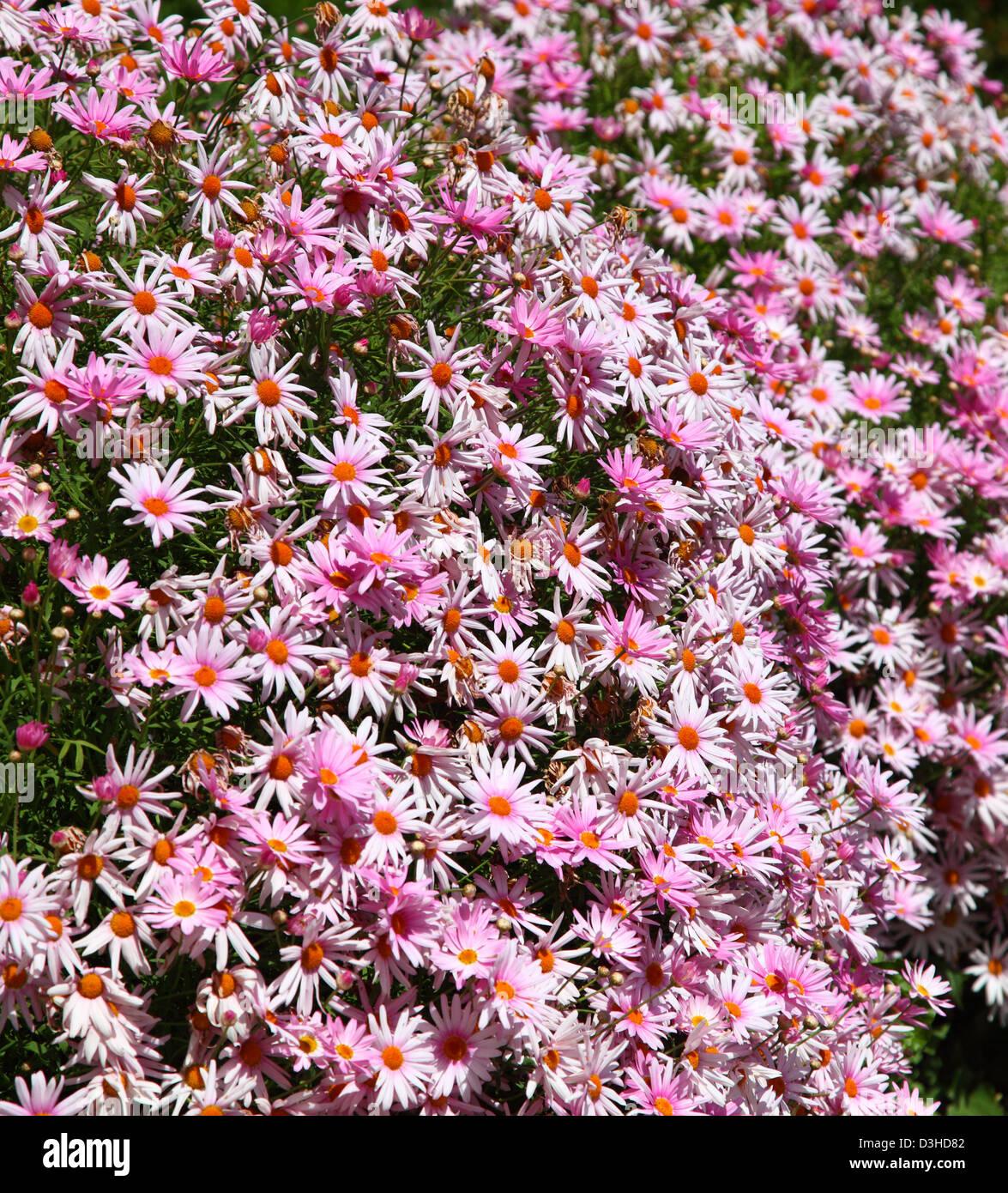 Eastern purple coneflower flowers - Stock Image