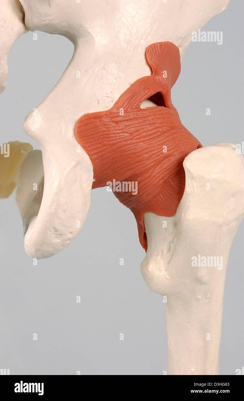 Skeleton Hip Stock Photo 53861027 Alamy