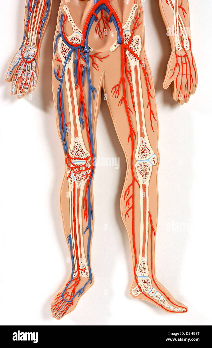 Lower Limb Blood Circulation Stock Photo 53861048 Alamy