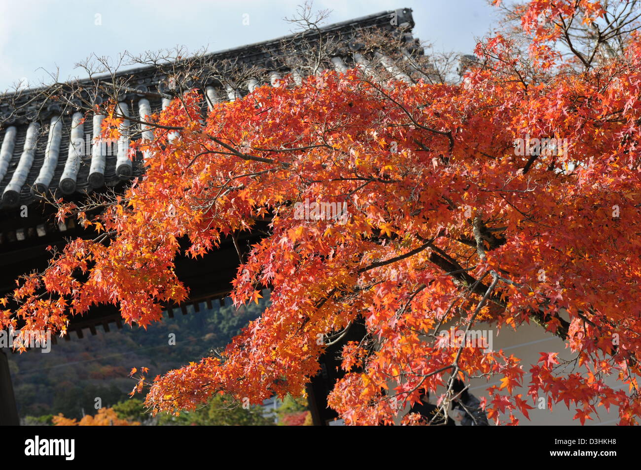 red maple leaves against a temple roof top - Stock Image