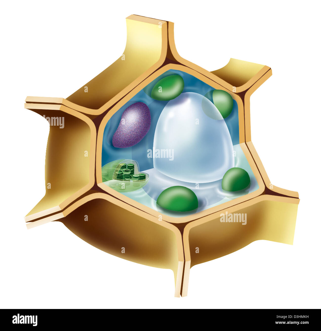 plant cell drawing stock photo 53864485 alamy