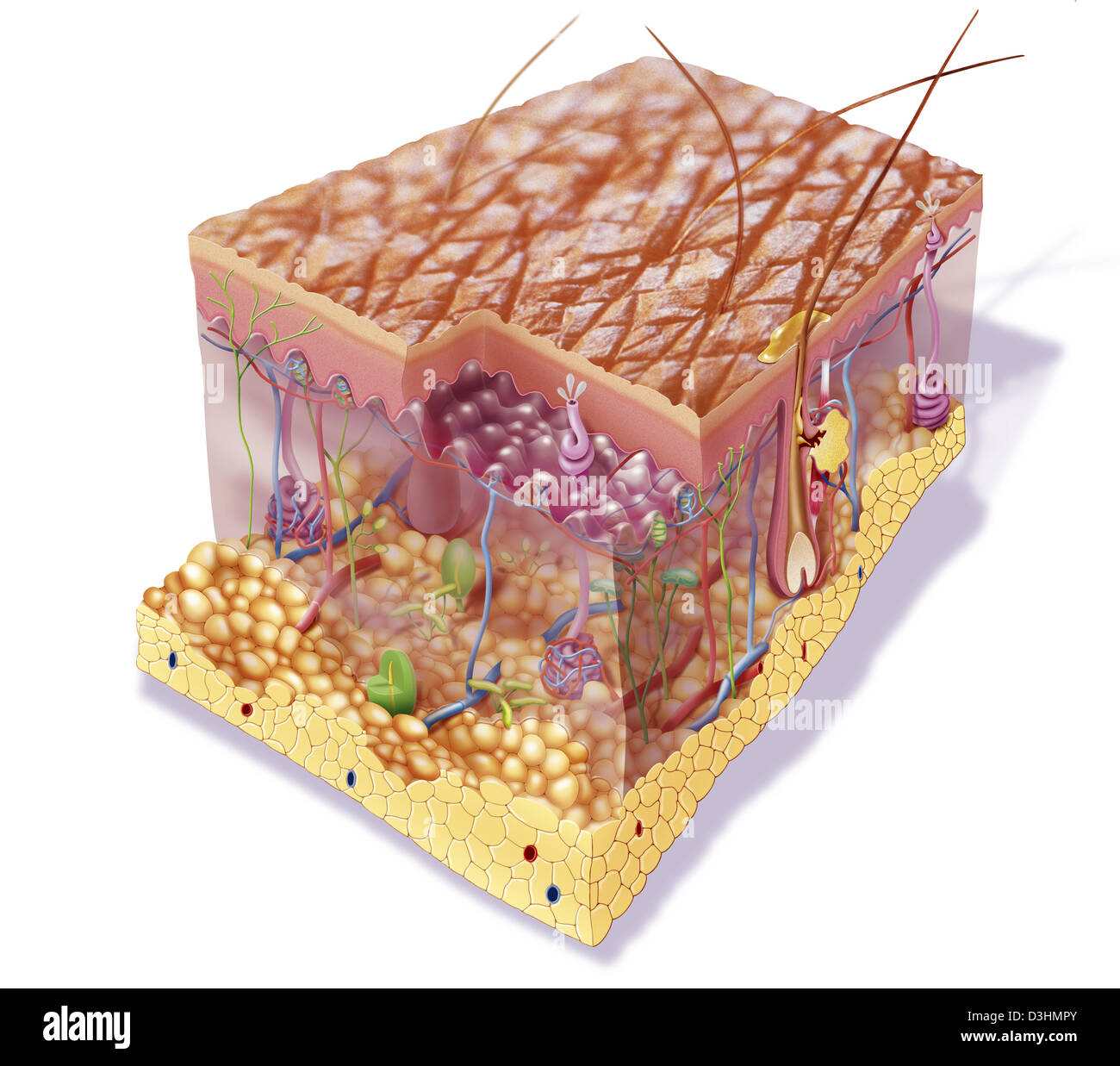 SKIN, ILLUSTRATION - Stock Image