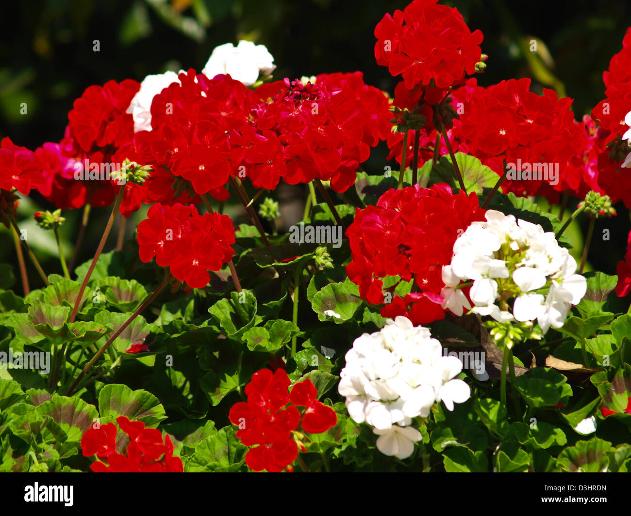 White Red Vinca Flower Stock Photos & White Red Vinca Flower Stock ...