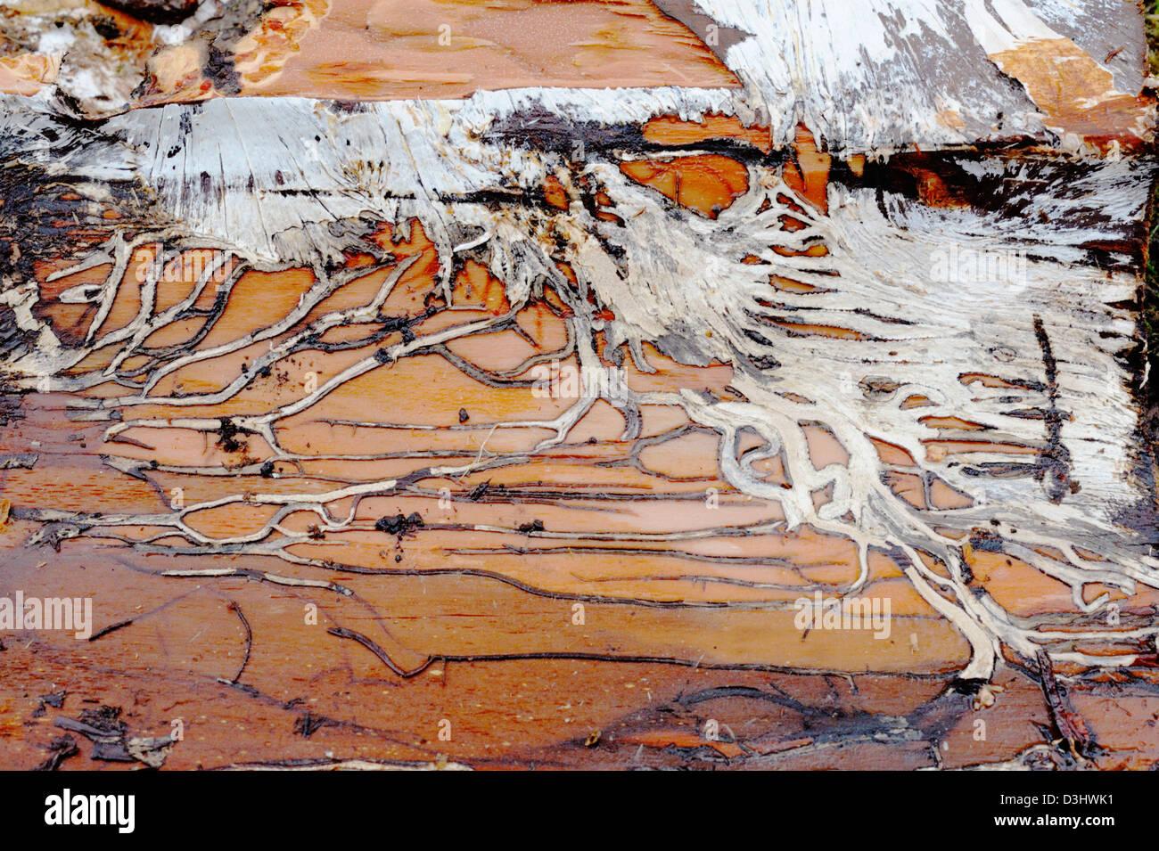 Fungal mycelium patterns on tree bark. - Stock Image