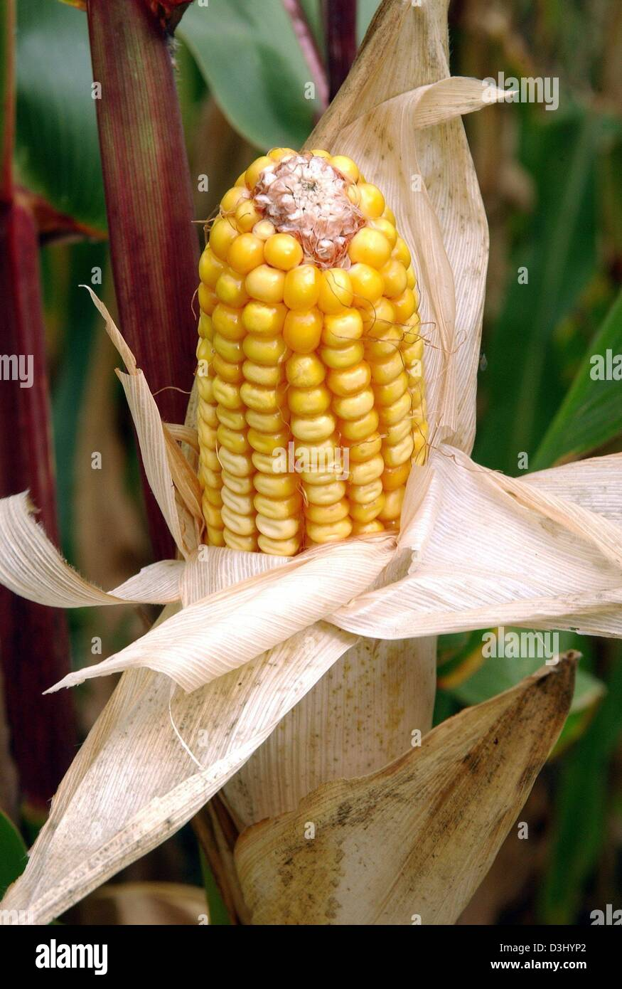 (dpa files) - A genetically modified corn cob grows on a research growing field of Monsanto Agrar Deutschland GmbH - Stock Image