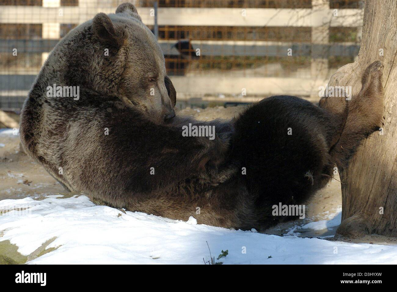 (dpa) - Brown bear lady (ursus arctos) Siddy enjoys the wintery midday sun in the zoo in Berlin, 23 January 2004. - Stock Image