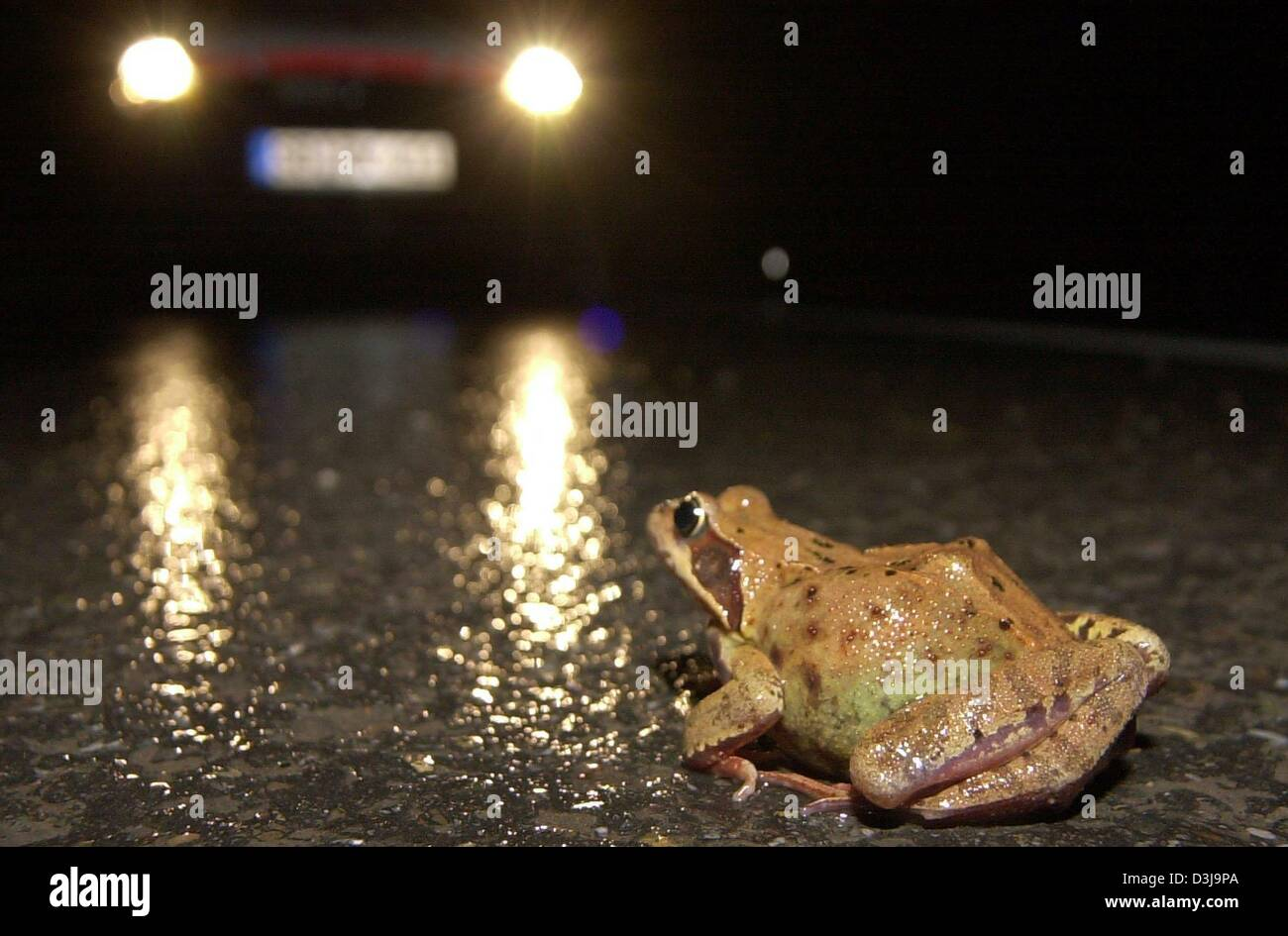 (dpa) - Unequal enemies - The first mild and wet days of spring bring out all kinds of amphibians that cross streets - Stock Image