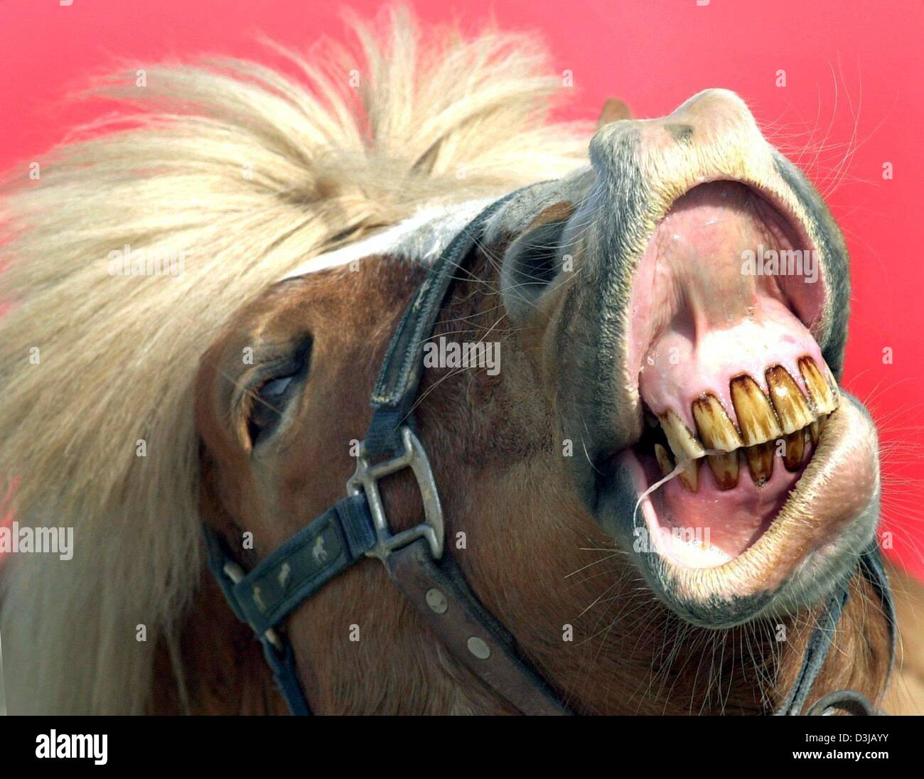 Image of: Smile Search Results For Human Interest Hum Animals Horse Teeth Mouth Brownteeth Tooth Haflinger Germany Stock Photos And Images Exceptional Smiles Family Dentistry Human Interest Hum Animals Horse Teeth Mouth Brownteeth Tooth